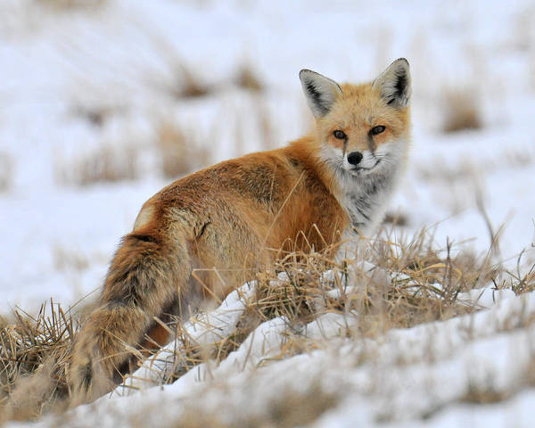 Photograph - Red Fox Winter by Craig Leaper