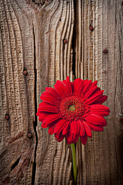 Mums Photograph - Red Gerbera Daisy With Wooden Wall by Garry Gay