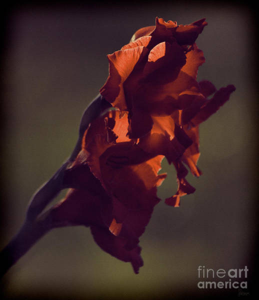 Photograph - Red Gladiolus by Jeff Breiman