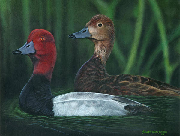 Water Foul Painting - Red Headed Ducks by Scott Kinsman