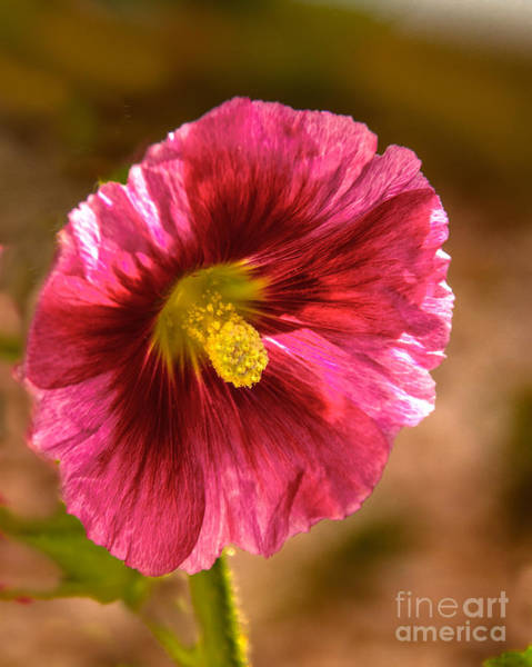 Mallow Family Wall Art - Photograph - Red Hollyhock by Robert Bales