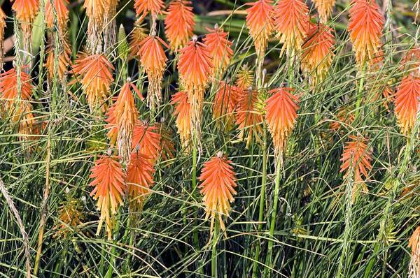 Red-hot Poker Photograph - Red Hot Poker (kniphofia) by Adrian Thomas