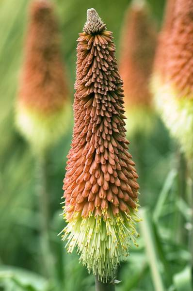 Red-hot Poker Photograph - Red Hot Poker (kniphofia Caulescens) by Adrian Thomas