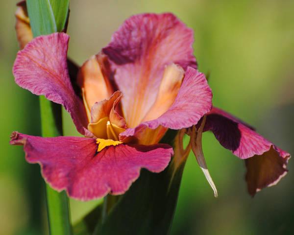 Photograph - Red Iris by Jai Johnson