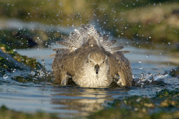 Scolopacidae Photograph - Red Knot Calidris Canutus Bathing, Den by Do Van Dijck