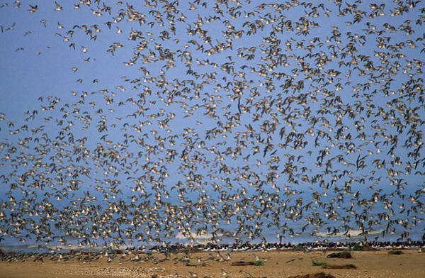 Scolopacidae Photograph - Red Knot Calidris Canutus Flock Flying by Frits Van Daalen
