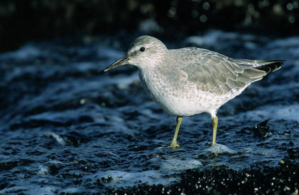 Scolopacidae Photograph - Red Knot Calidris Canutus In Winter by Hans Schouten