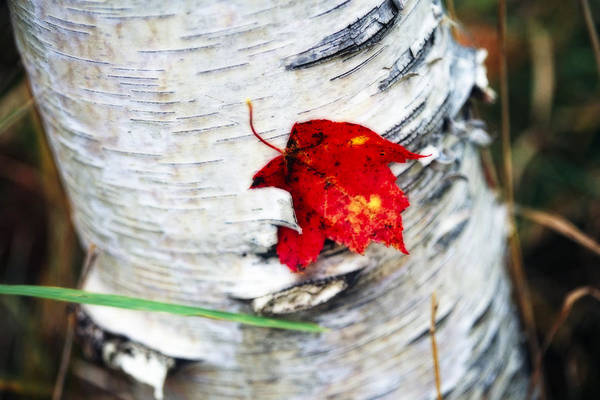 Botanica Photograph - Red Leaf Caught In Bark by George Oze