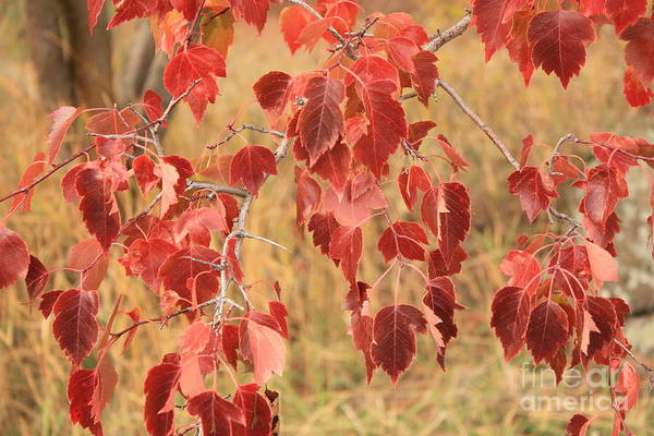 Photograph - Orange Leaves On Silver Branches by Carol Groenen