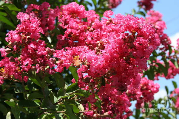 Photograph - Red Lilac Bush by Michael Waters