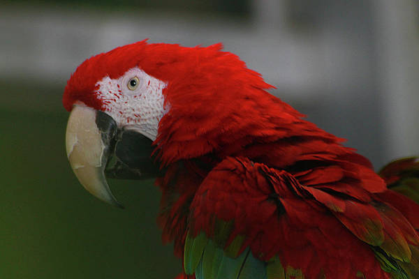 Photograph - Red Macaw by Scott Hovind