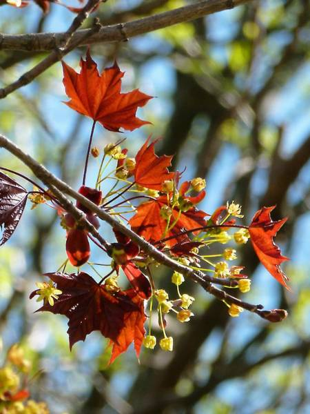 Photograph - Red Maple In Spring by Beth Akerman