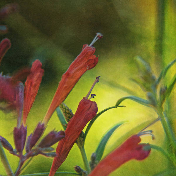 Chartreuse Photograph - Red Mint by Bonnie Bruno