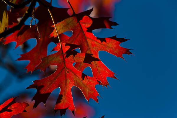 Photograph - Red Oak Leaves by Ed Gleichman