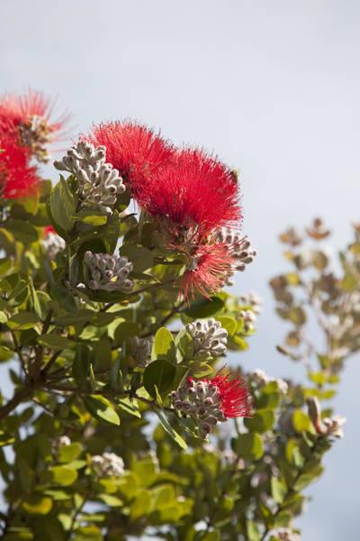 Ohia Photograph - Red Ohia Flowers by Jenna Szerlag