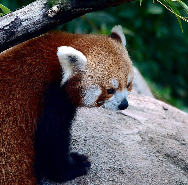 Red Wall Art - Photograph - Red Panda by Kathi Isserman
