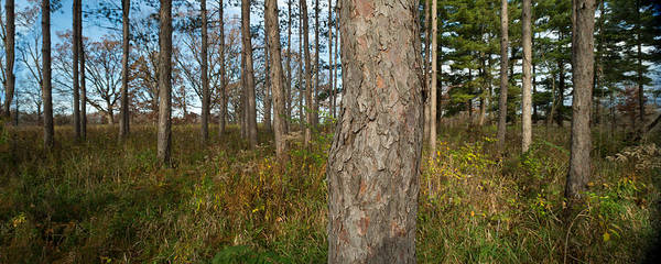 Wall Art - Photograph - Red Pine Forest by Steve Gadomski