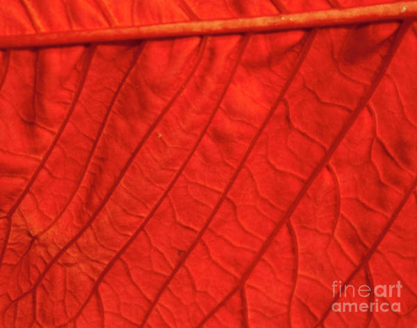 Photograph - Red Poinsettia Leaf by Michael Waters