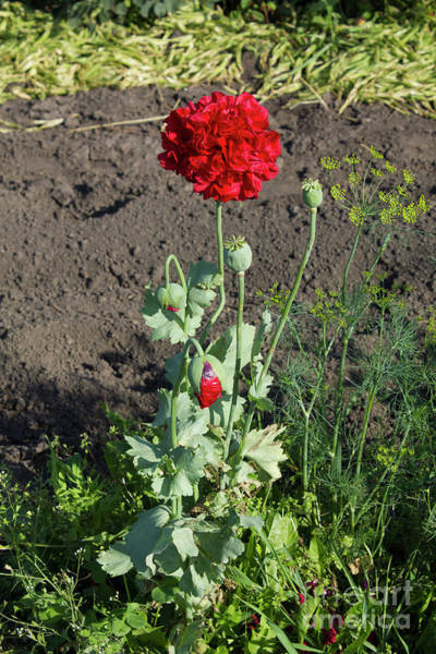 Photograph - Red Poppy by Donna L Munro