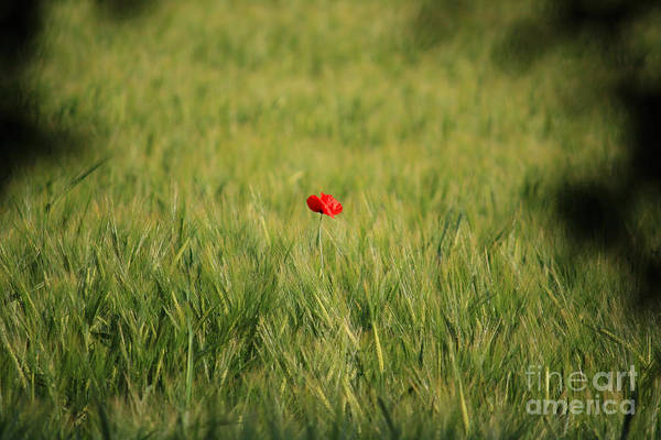 Remembrance Photograph - Red Poppy In A Field by Pixel Chimp