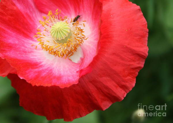 Photograph - Red Poppy With Ant by Carol Groenen
