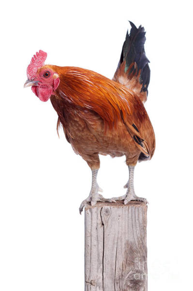 Photograph - Red Rooster On Fence Post Isolated White by Cindy Singleton