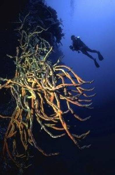 Photograph - Red Rope Sponge And Underwater Photographer by Don Kreuter
