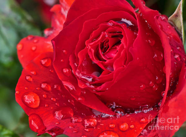 Photograph - Red Rose After The Rain by Eddie Yerkish