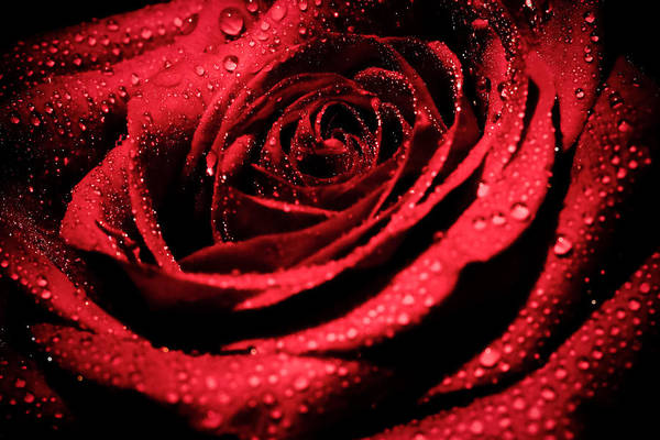 Photograph - Red Rose Beauty by Keith Allen