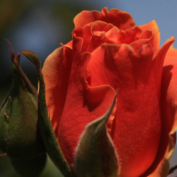 Photograph - Red Rose Bud by Donna Corless