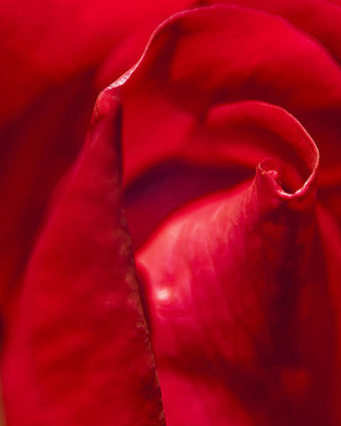 Photograph - Red Rose Close by Rick Hartigan