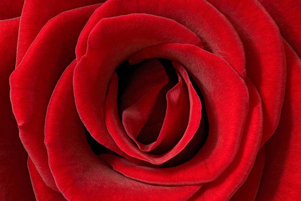 Photograph - Red Rose Detail by Ingo Arndt