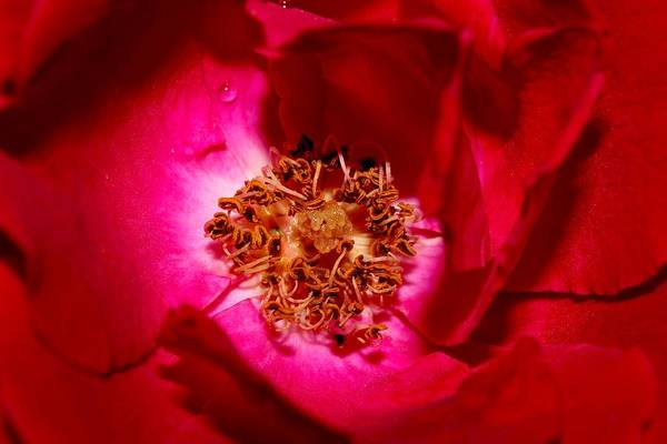 Wall Art - Photograph - Red Rose Fully Open 2011 Close Up by Robert Morin