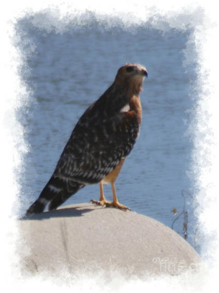 Photograph - Red Shoulder Hawk by Donna Bentley