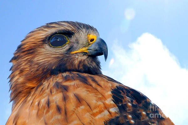 Photograph - Red Shouldered Hawk Portrait by Dan Friend