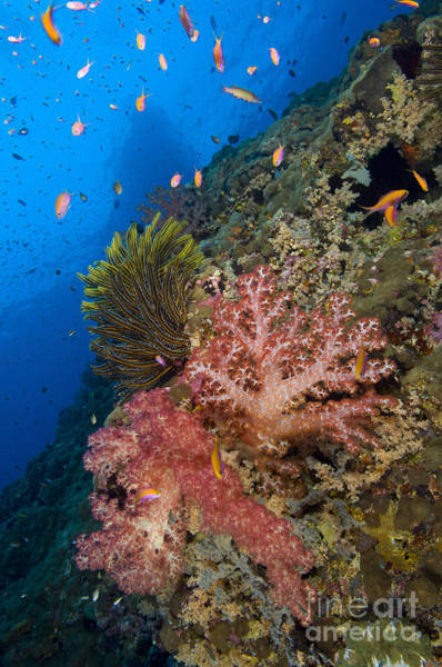 Photograph - Red Soft Coral With Crinoid And Anthias by Steve Jones