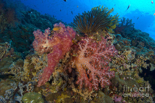 Photograph - Red Soft Coral With Crinoid, Papua New by Steve Jones