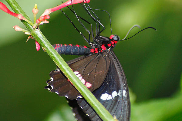 Photograph - Red Spots Tasting Red Nectar by Scott Hovind