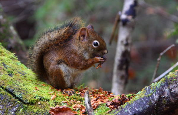 Wall Art - Photograph - Red Squirrel by Bruce J Robinson