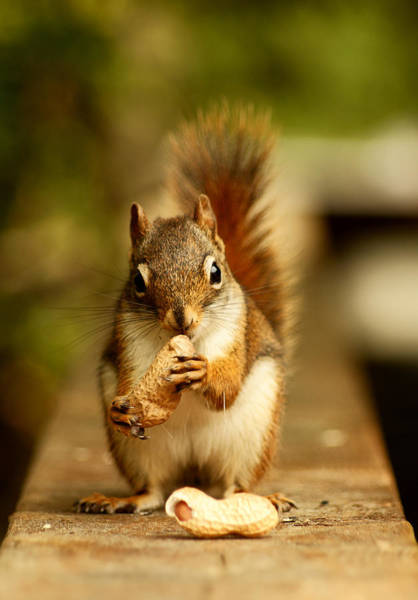Red Squirrel Wall Art - Photograph - Red Squirrel by Cale Best