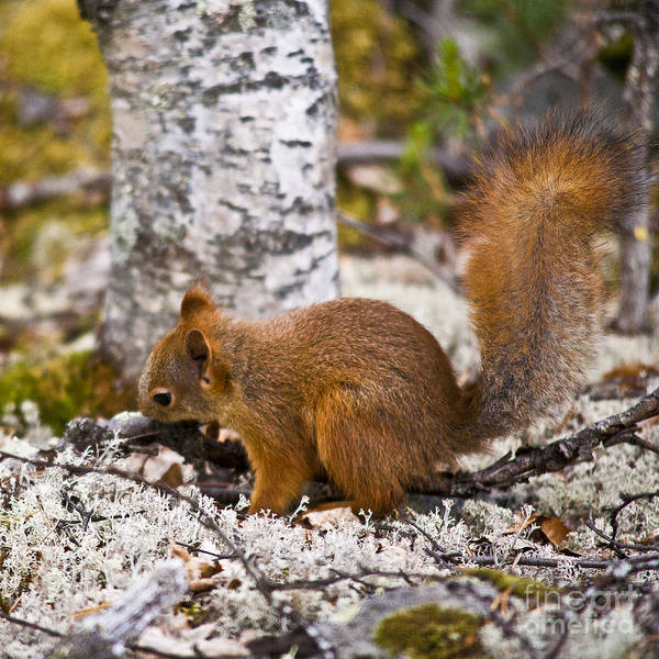 Photograph - Red Squirrel by Heiko Koehrer-Wagner