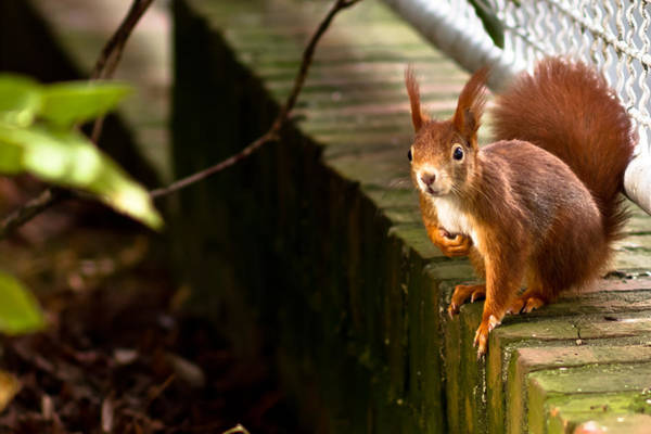 Red Squirrel Wall Art - Photograph - Red Squirrel by Justin Albrecht