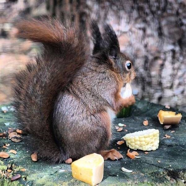 Norfolk Photograph - Red Squirrel #red  #norfolk by Jo Shaw