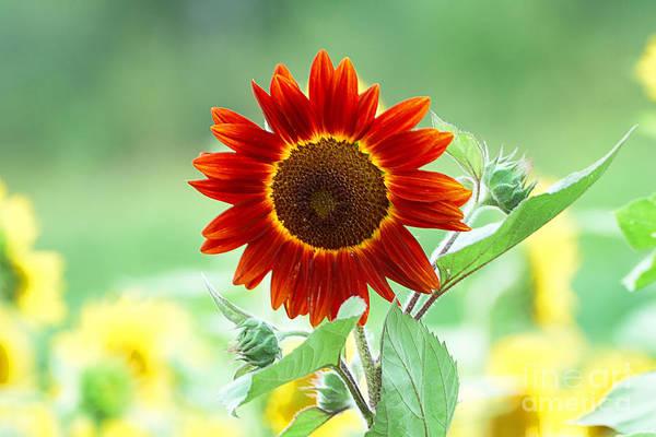 Wall Art - Photograph - Red Sunflower 2 by Edward Sobuta