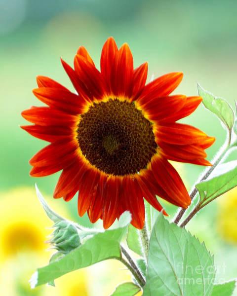 Wall Art - Photograph - Red Sunflower 3 by Edward Sobuta