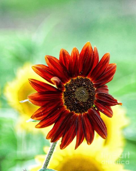 Wall Art - Photograph - Red Sunflower 4 by Edward Sobuta