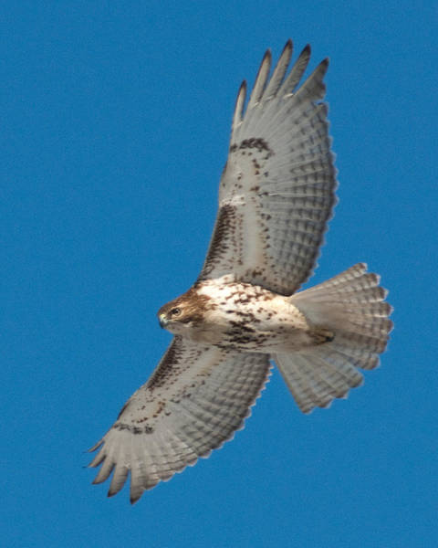 Photograph - Red Tail by Craig Leaper