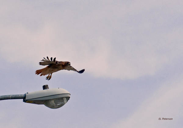 Photograph - Red-tailed Hawk In Flight by Edward Peterson