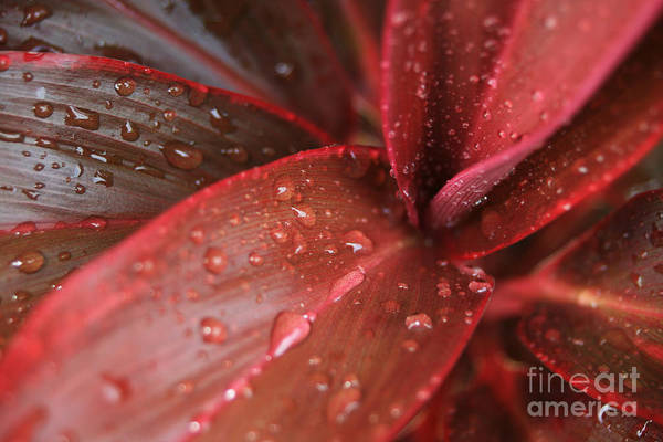 Photograph - Red Ti  -  Cordyline Terminalis by Sharon Mau