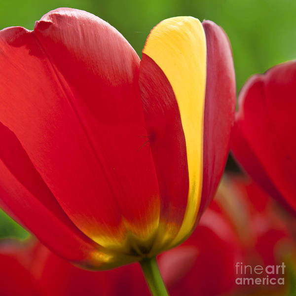Photograph - Red Tulips 1 by Heiko Koehrer-Wagner